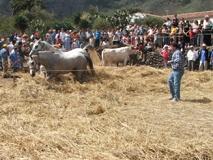 Día de la trilla en el barrio de El Palmar, en Buenavista del Norte.